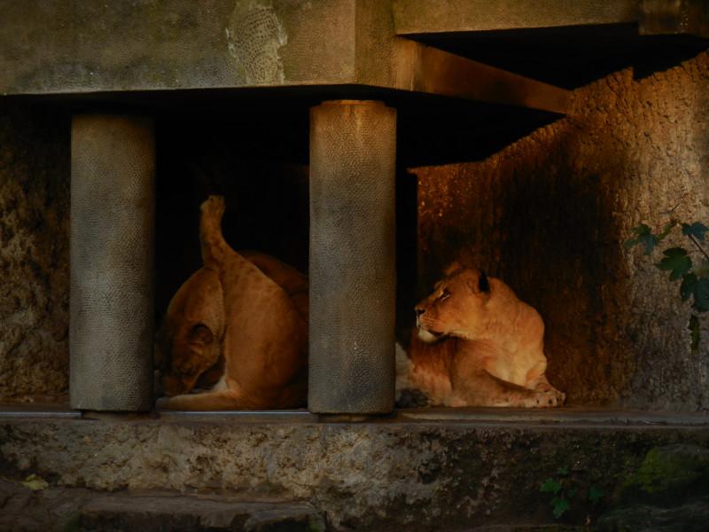 artis leeuwinnen wassen