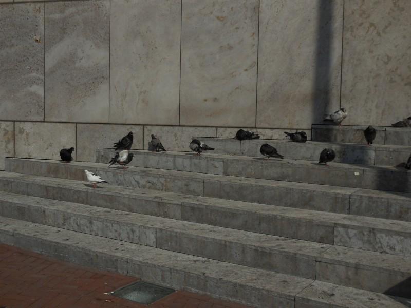 Duiven uit de wind op de trap voor de bibliotheek.