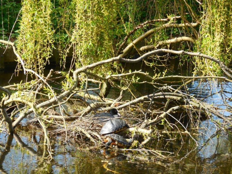 meerkoet-schildpadden-westerpark-kw