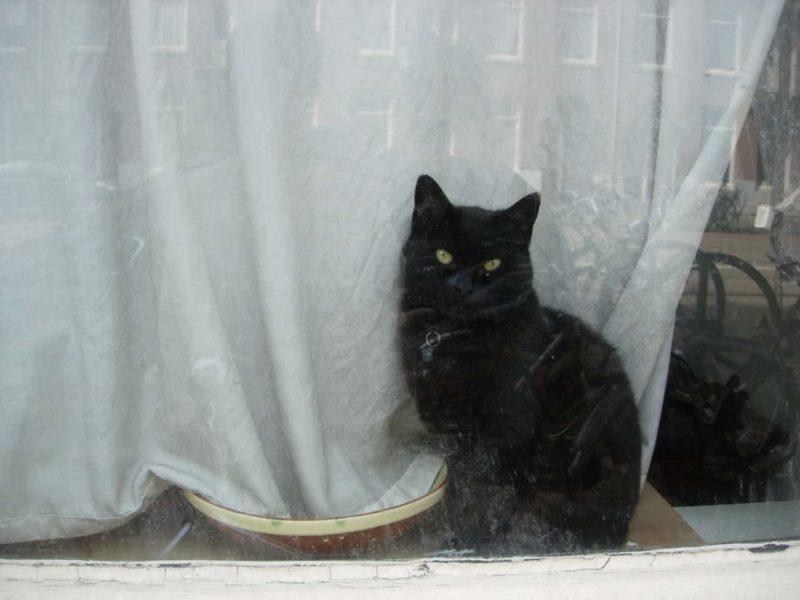 Raamkat, zwarte kat voor een wit gordijn