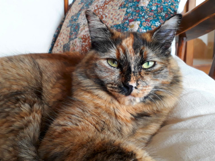 Photo of an intimidatig looking tortoiseshell kitty on a cushion